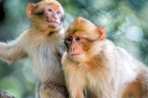 Twee dozijn apen uitgebroken uit zoo in Duitsland