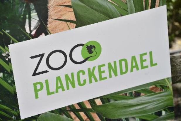 Un zèbre nouveau-né fait ses premiers pas en public au zoo de Planckendael