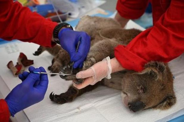 Les koalas pourraient disparaître d'une partie de l'Australie d'ici 2050