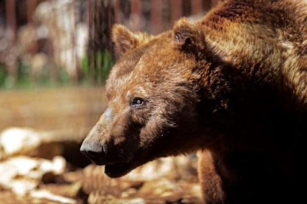 Bruine beren neergeschoten na uitbraak in Engelse zoo