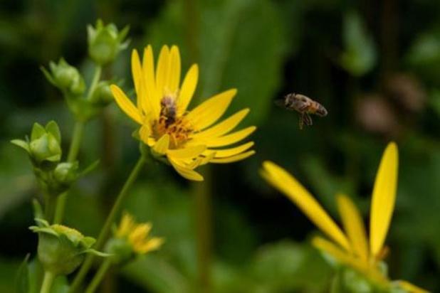 UGent zorgt voor doorbraak in onderzoek naar veerkrachtige honingbijen