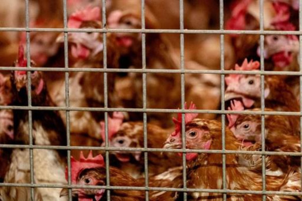 Opnieuw drietal besmettingen met vogelgriep aan de kust