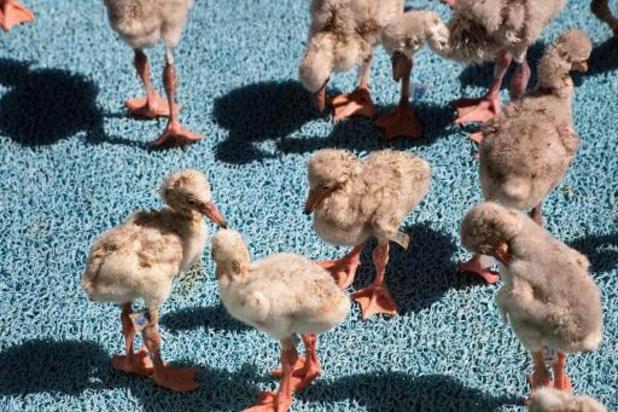 La Wallonie s'apprête à interdire préventivement le broyage des poussins