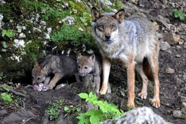 Deux loups percutés par des véhicules en Suisse