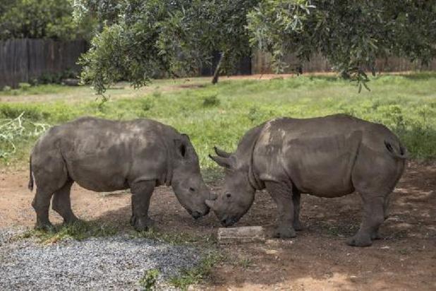 Afrique du Sud: des cornes de rhinocéros radioactives pour décourager les braconniers