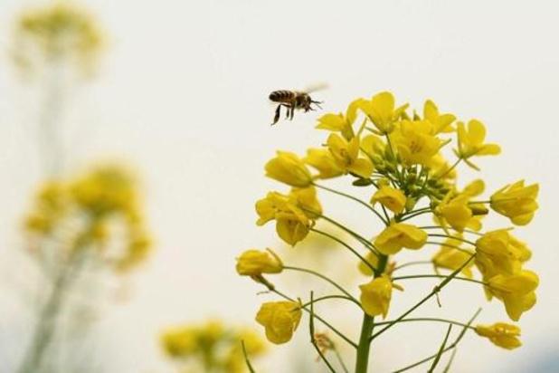 La teneur en sucre du nectar influe la capacité des abeilles à butiner