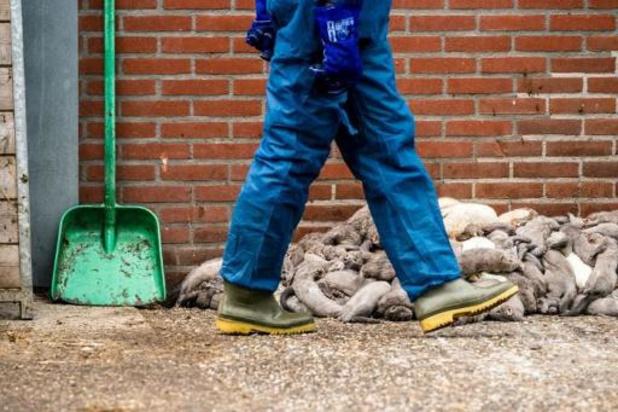 Nieuwe besmetting bij nertsenbedrijf in Nederland