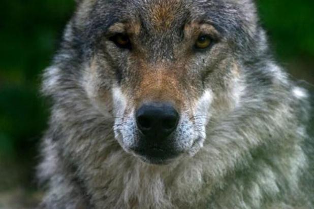 Wolf bijt vier damherten dood in park Molenheide