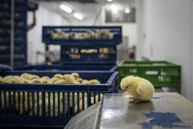 Le broyage des poussins mâles bientôt interdit en Allemagne