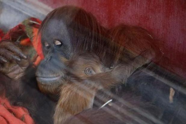 La naissance d'un orang-outan est attendue à Pairi Daiza pour la fin de l'année
