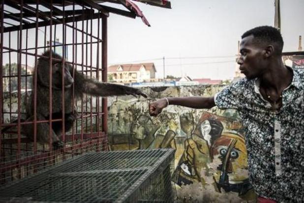 Saisie de grands singes vivants sortis illégalement de RDC au Zimbabwe