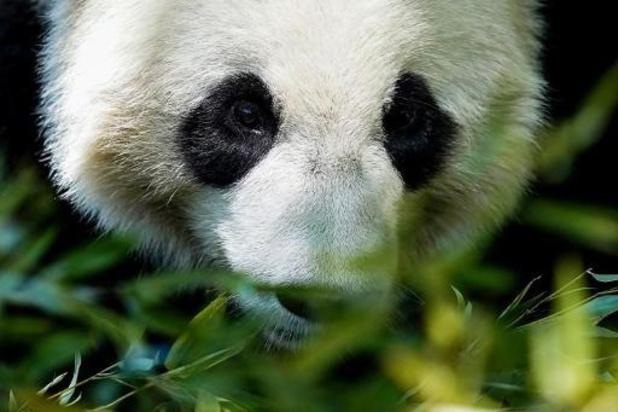 Reuzenpanda Tian Bao keert na kerstvakantie terug naar China