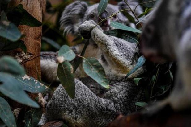 Meer dan 60.000 koala's geïmpacteerd door Australische bosbranden in 2019-2020