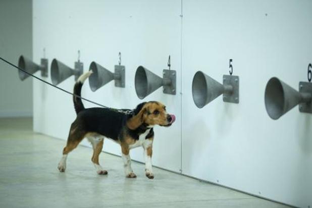 Des chiens pour détecter le coronavirus auprès de footballeurs
