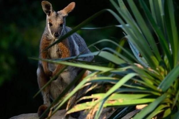 Le wallaby qui s'était échappé de son enclos à Waimes a été capturé