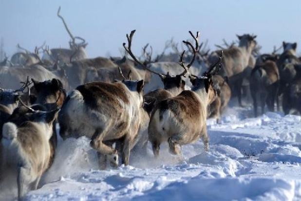 Rendieren sterven van de honger aan Noordelijke IJszee