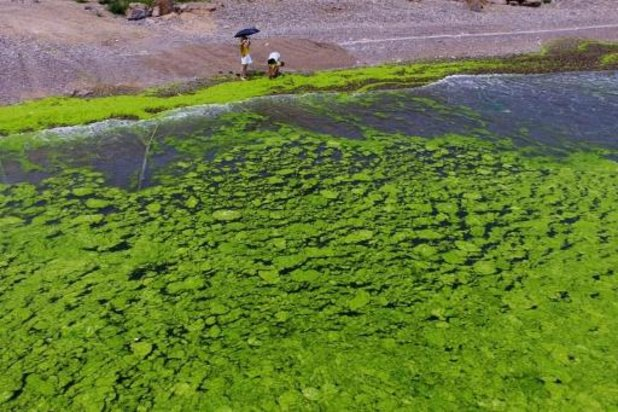 Onderzoeker UG en Plantentuin Meise ontrafelen oorsprong groene zeewieren