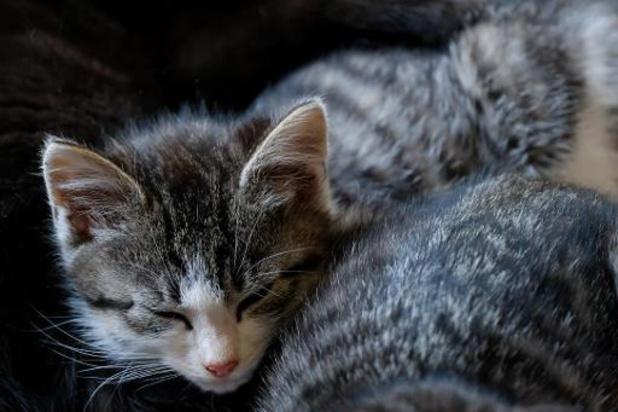 Neuf chats domestiques sur 10 sont stérilisés en Wallonie