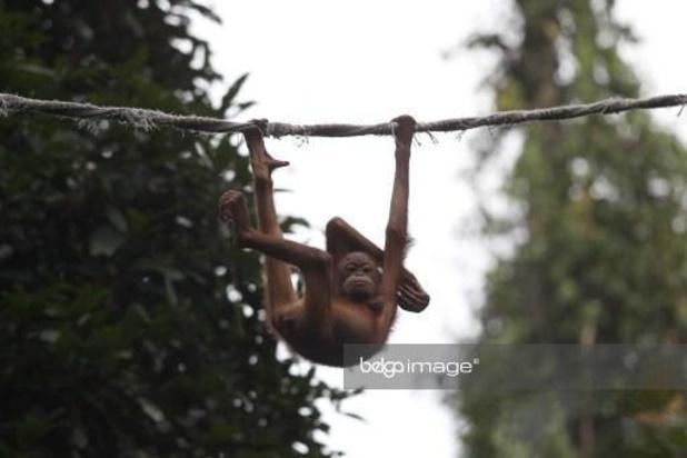 Coronavirus - Voor het eerst in jaar tijd opnieuw orang-oetangs vrijgelaten in Borneo