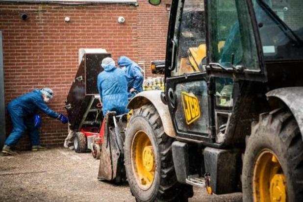 Weer coronabesmetting bij nertsenfokkerij in Nederland