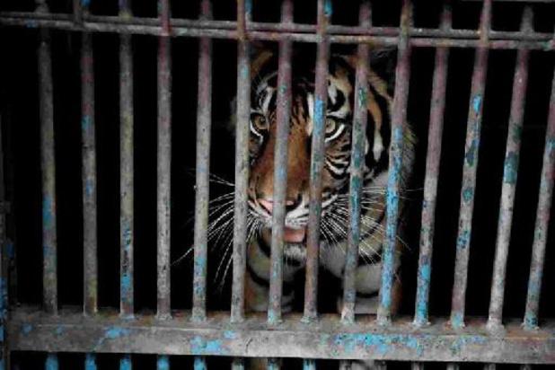 Twee Sumatraanse tijgers in Indonesische zoo testen positief op coronavirus