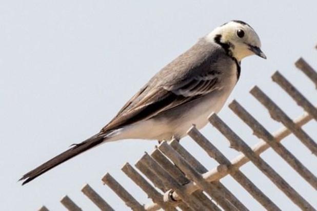 Witte kwikstaart is 'vogel van het jaar'