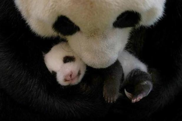 Baby-boom au zoo de Taipei