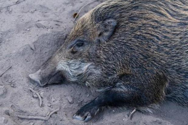 Animal Rights houdt stille wake tijdens drukjacht op everzwijnen