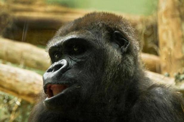 Gorilla Mambele verwacht kleintje in Zoo Antwerpen