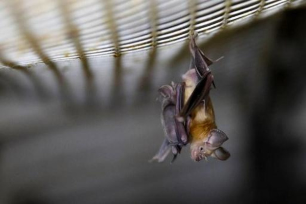 Uitgestorven vleermuizensoort duikt na 25 jaar weer op in Vlaanderen