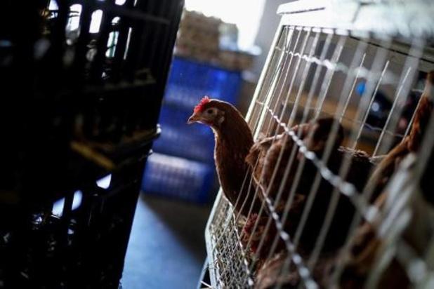 Gaia: 'Wanneer mogen de kippen uit hun kot?'