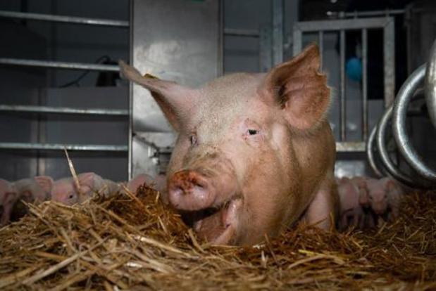 Prijs varkensvlees op hoogste niveau in twintig jaar