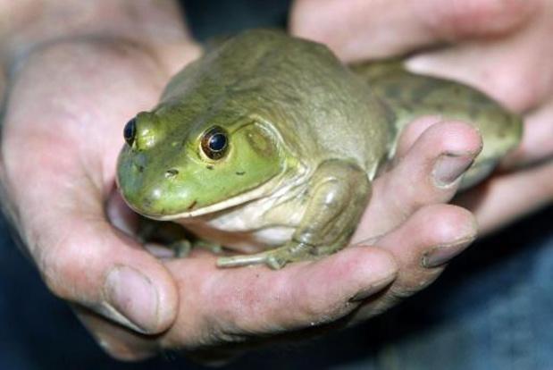 Les températures printanières sortent les amphibiens de leur hibernation
