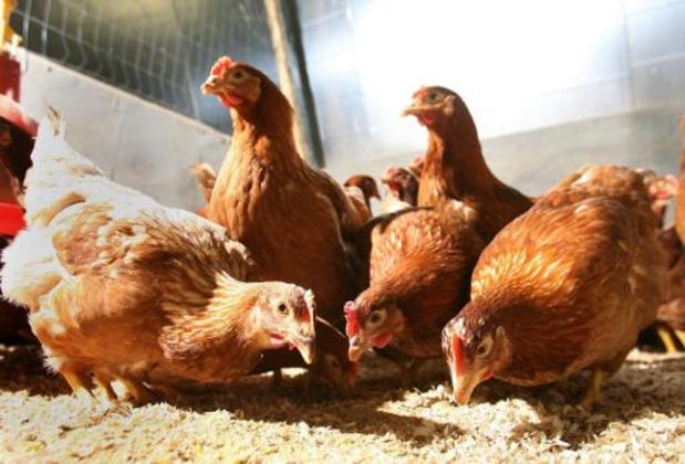 Raad voor Vergunningsbetwistingen vernietigt vergunning uitbreiding kippenstal