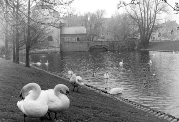La Ville de Bruges retire ses cygnes de ses canaux en raison de la grippe aviaire