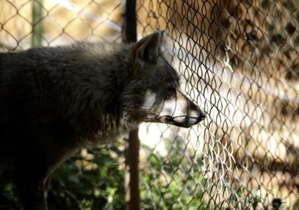 Twee wolven ontsnapt in DierenPark Amersfoort (3) verdoofd en terug in verblijf