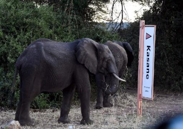 Kleine 300 vergunningen voor olifantenjacht in Botswana