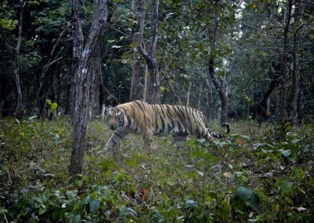 Tijger op recordhoogte gespot in Nepal