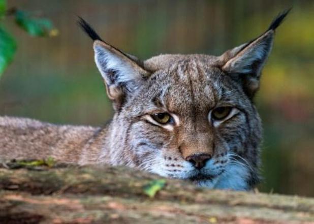 """Eerste """"staalhard"""" bewijs van lynx in België"""