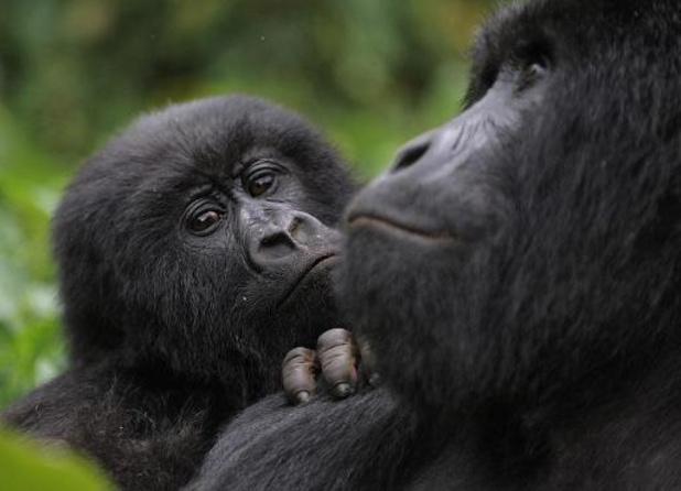 Opnieuw berggorilla geboren in Virunga