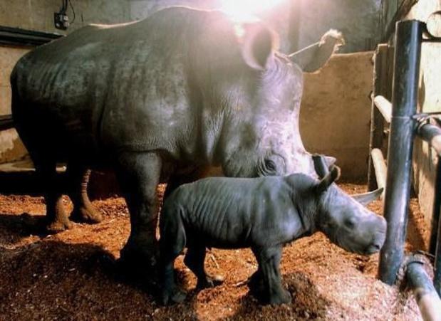 Des bébés rhinocéros de Java, espèce en voie d'extinction, repérés dans un parc indonésien