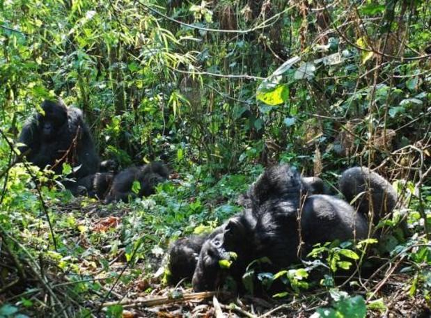 RDC: mort d'une gorille célèbre du parc des Virunga