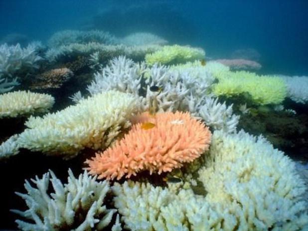 Helft van Great Barrier Reef in Australië afgestorven in 25 jaar tijd