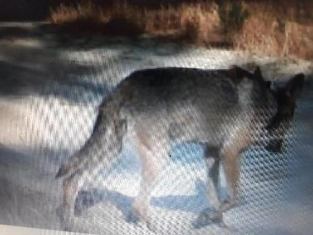 "Welkom Wolf over bescherming wolven: ""gesprek met minister Demir was hoopgevend"""