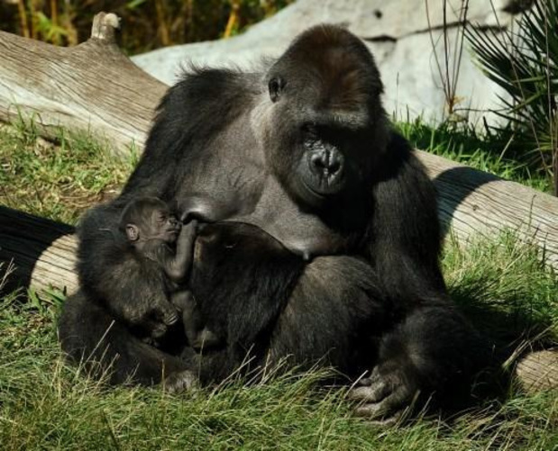 Coronavirus - Voor het eerst gorilla's besmet met coronavirus