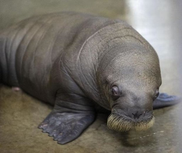 Walrus geboren in Pairi Daiza