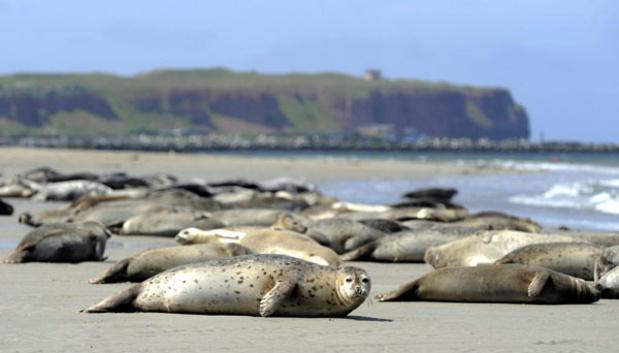 Helgoland, l'île allemande, berceau des bébés phoques en mer du Nord