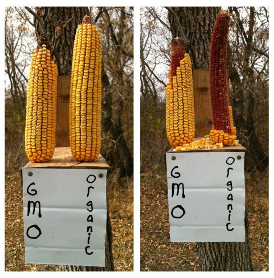 Factcheck: nee, deze foto toont geen ernstig onderzoek naar genetisch gemanipuleerde maïs