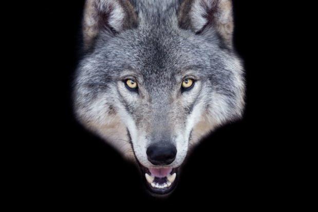La meute de loups observés à plus de 50 reprises en un an