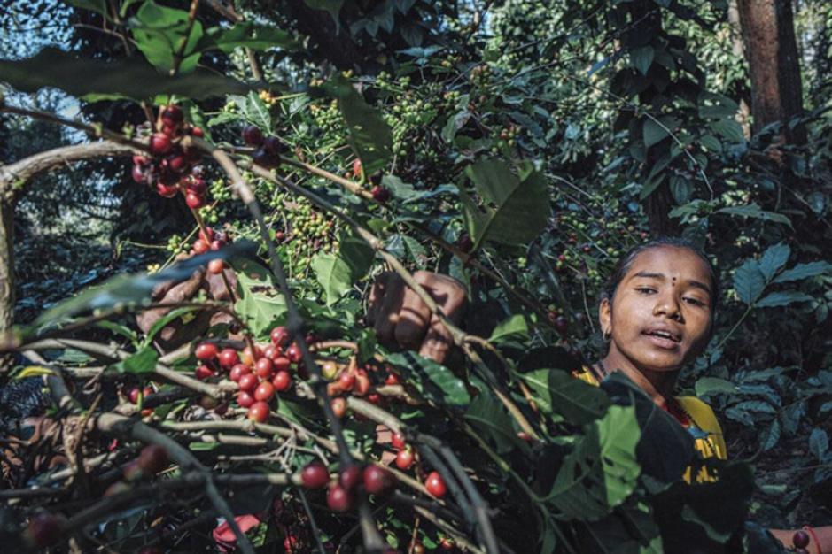 A l'est de l'Inde, la vallée d'Araku ressuscite grâce au café (En images)